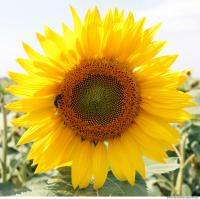 Sunflower 0001