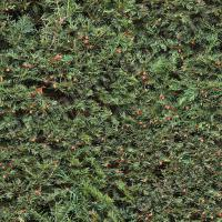 photo texture of hedge seamless 0007