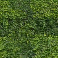 photo texture of ivy seamless 0003