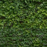 photo texture of ivy seamless 0005