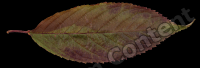 decal leaf 0008