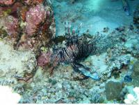 Pterois volitans Red lionfish 2