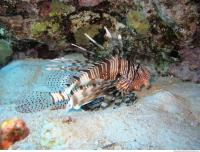 Pterois volitans Red lionfish side 7